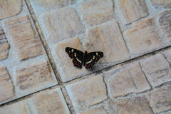 Farfalla sul pavimento Immagine Stock
