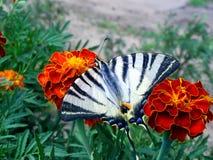 Farfalla sul tagete Fotografia Stock