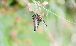 Farfalla sull'albero del cinese del cappello fotografia stock libera da diritti