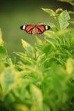 Farfalla sull'albero verde Fotografie Stock