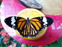 Farfalla sull'arancia Immagine Stock