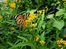 Farfalla sull'arancia Fotografia Stock Libera da Diritti