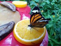 Farfalla sull'arancia Fotografia Stock