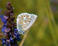 Farfalla sull'erba Fotografie Stock