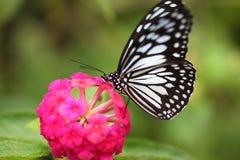 Farfalla sull'isola di Bohol Fotografia Stock