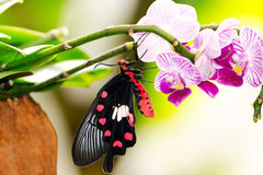 FARFALLA SULL'ORCHIDEA Fotografie Stock