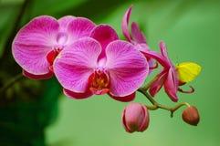 Farfalla sull'orchidea Fotografia Stock Libera da Diritti