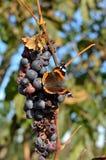 Farfalla sull'uva Fotografie Stock