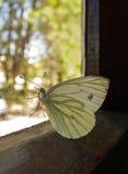 Farfalla sulla finestra Fotografie Stock Libere da Diritti