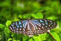 Farfalla sulla foglia di verde del fiore - concetto di ecologia Fotografia Stock
