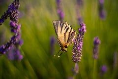 Farfalla sulla lavanda in giardino Immagine Stock Libera da Diritti
