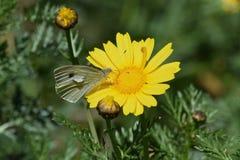 Farfalla sulla natura gialla di primavera del fiore Fotografie Stock Libere da Diritti