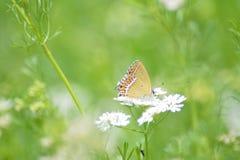 Farfalla sulla pianta di coriandolo immagini stock