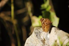 Farfalla sulla pietra Fotografia Stock Libera da Diritti