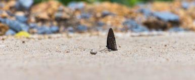 Farfalla sulla strada Fotografia Stock