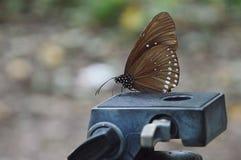 Farfalla sulla testa del treppiede Fotografia Stock