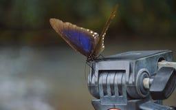 Farfalla sulla testa del treppiede Immagini Stock