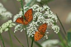 Farfalla sulle foglie dei cespugli Immagine Stock Libera da Diritti