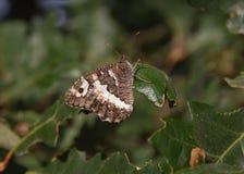 Farfalla sulle foglie della quercia Fotografia Stock Libera da Diritti