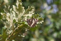 Farfalla sulle foglie della quercia Fotografie Stock