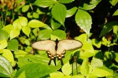 Farfalla sulle foglie verdi Fotografia Stock