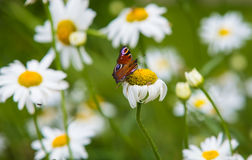 Farfalla sulle margherite in giardino Fotografia Stock