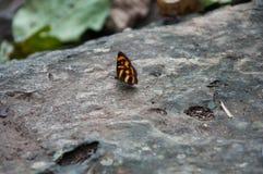 Farfalla sulle rocce Parco nazionale di Ramkhamhaeng, Sukhothai, Tailandia Immagini Stock Libere da Diritti