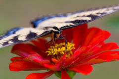 Farfalla sullo Zinnia Fotografia Stock Libera da Diritti