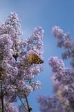 Farfalla svedese che cerca nettare su un fiore acido fotografia stock