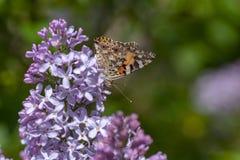 Farfalla svedese che cerca nettare su un fiore acido fotografie stock