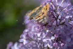 Farfalla svedese che cerca nettare su un fiore acido immagine stock libera da diritti