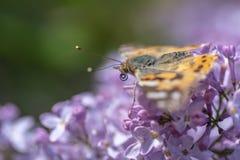 Farfalla svedese che cerca nettare su un fiore acido fotografia stock libera da diritti