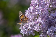 Farfalla svedese che cerca nettare su un fiore acido immagini stock