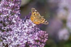 Farfalla svedese che cerca nettare su un fiore acido fotografie stock libere da diritti