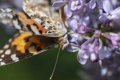 Farfalla svedese presa nettare su un fiore acido fotografia stock