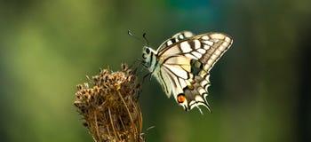 Farfalla, Swallowtail Fotografia Stock