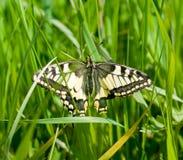 Farfalla Swallowtail Immagine Stock