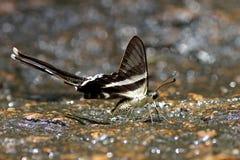 Farfalla in Tailandia Fotografie Stock Libere da Diritti