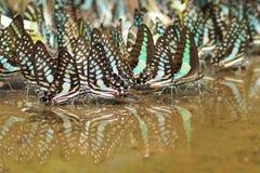 Farfalla in Tailandia Fotografia Stock Libera da Diritti