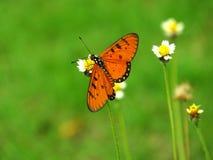 Farfalla Tawny del coster Fotografia Stock Libera da Diritti