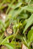 Farfalla Tawny del coster Immagini Stock Libere da Diritti