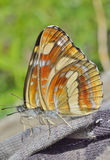Farfalla (thisbe di Neptis) 9 Fotografia Stock