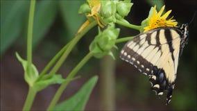 Farfalla, Tiger Swallowtail, con la pianta della tazza del fiore di perfoliatum di silfio video d archivio