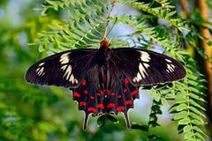 Farfalla tormentatore cremisi di Pachliopta o di Rosa sulle foglie verdi fotografia stock