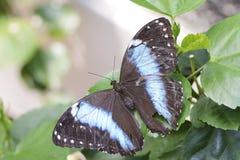 Farfalla tropicale Immagini Stock