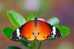 Farfalla tropicale fotografia stock
