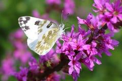 Farfalla tropicale Fotografie Stock Libere da Diritti