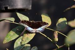 Farfalla tropicale Azienda agricola della farfalla e di Bai Orchid Mae Rim Chiang Mai Province thailand fotografie stock libere da diritti