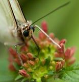 Farfalla tropicale con gli occhi azzurri Immagine Stock Libera da Diritti
