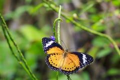 Farfalla tropicale del Lacewing di bilbis rossi di Cethosia che riposa nella tassa Fotografia Stock Libera da Diritti